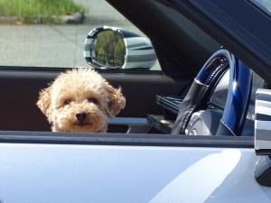 車に乗せたワンちゃん